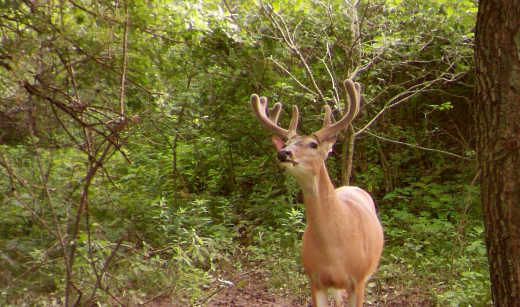 Midwest Whitetails